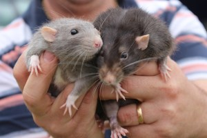 City of Moncton asking residents to adopt homeless rats