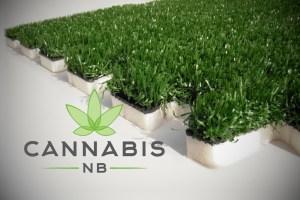 Health Canada recalls grass sold as cannabis in NB
