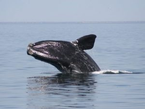 DFO: North Atlantic right whales are huge dopey klutzes