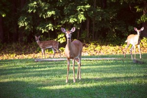 30-50 feral deer invading every backyard in Saint Andrews every 3-5 minutes