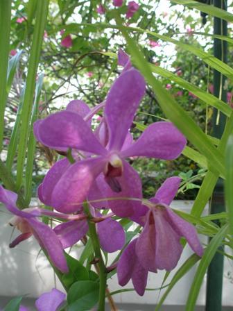 bkk-orchids