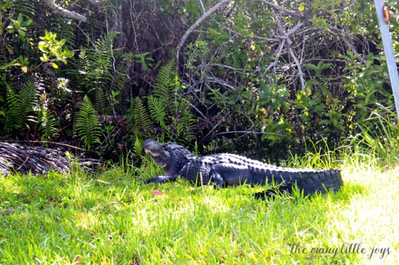 Travel with Kids - The Florida Keys and The Everglades Alligator
