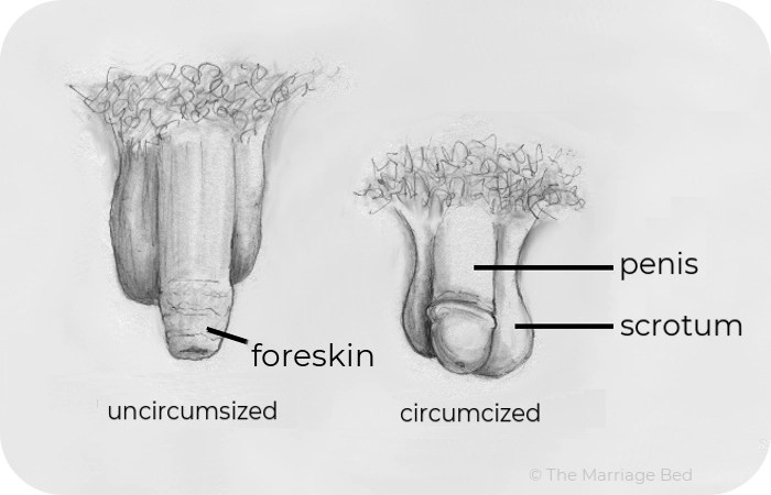 external male genitals