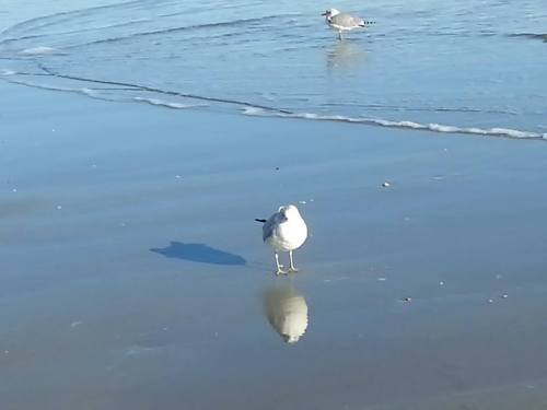seagullshadow