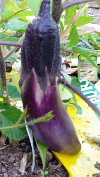 eggplantgrowing