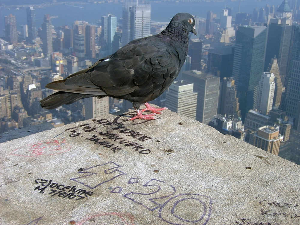 [Image: new-york-empire-state-pigeon.jpg]