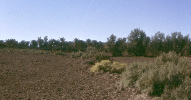 Salsola gemelini and Tamarix around an Oasis.png