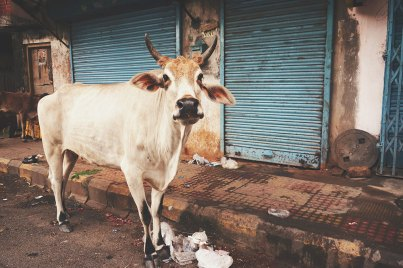Street Cow