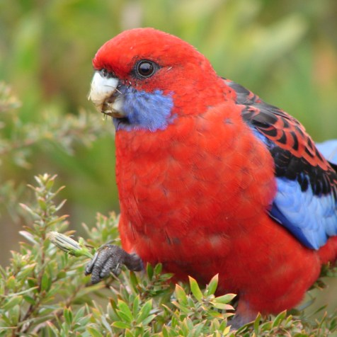 Red parrot in the Blue Mountains, Australia