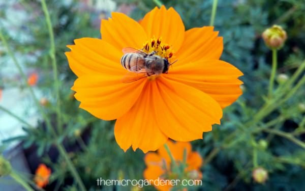 9 Reasons You Should Grow Cosmos Flowers   The Micro Gardener Bee feeding on pollen in orange cosmos flower