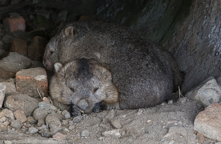 Wombats - A Photo Gallery