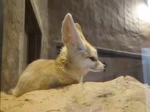 Cute fennec fox!