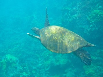 Sea turtle in Maui Hawaii on miles and points