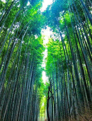 Kyoto bamboo forest, Kyoto on points