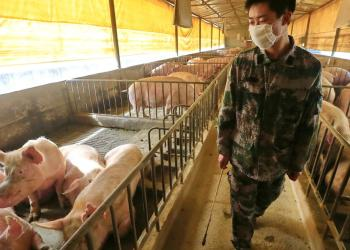 New swine flu virus could potentially trigger a pandemic, Chinese study finds