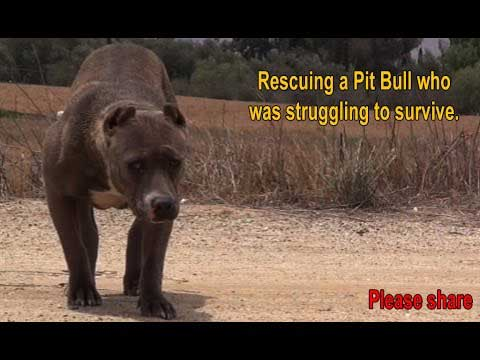 Scared, Stranded Pit Bull Who Was Struggling To Survive Gets A Touching Rescue.