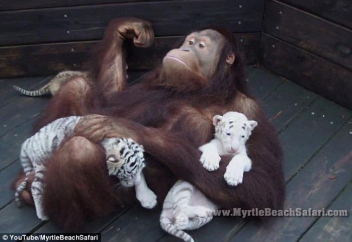 Male Orangutan Adopting And Bottle Feeding 3 Baby Tigers Is The Cutest Thing You'll See Today