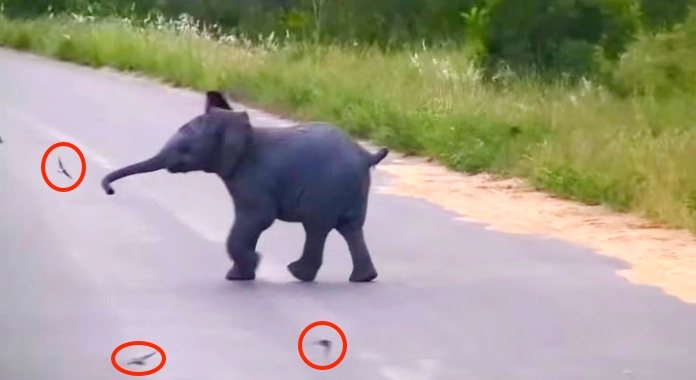 Baby Elephant Adorably Chases Birds Flying Around Him