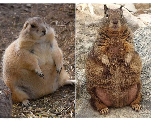 Is Warm Winter Weather Making Squirrels Fat?