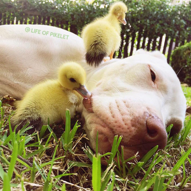 Dog Brothers Instantly Bond with and Protect Their Duckling Family Members