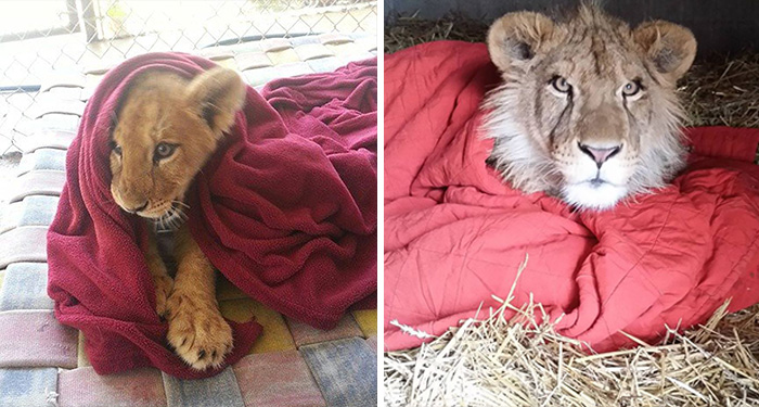 Rescued Baby Lion Can't Sleep Without A Blanket Even Though He's All Grown Up