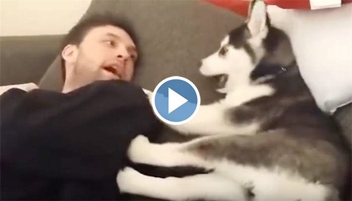 This Adorable Husky Puppy 'Arguing' With Dad Just Has To Have The Last Word
