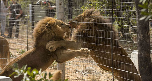 33 Lions Have Just Been Rescued From Illegal Circuses And Are Finally Coming Home!