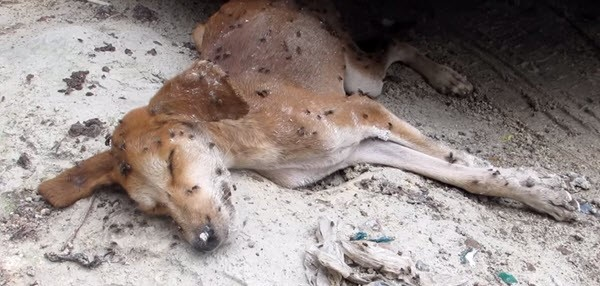 This Dog's Situation Was So Bad That The Flies On His Body Thought He Was Long Gone