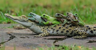 A Series Of Photos Show The Frogs Hitched A Lift On A Passing Crocodile