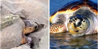 Good News, Turtle Lovers! Studies Show An Increase In Sea Turtle Nests This Year!
