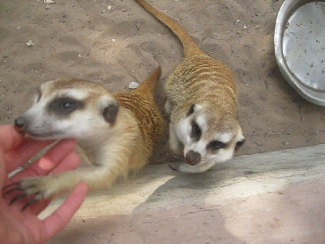 Surprisingly friendly meerkats beg for attention