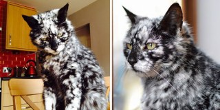 19-Year-Old Black Cat Turns Into A Marble Beauty, Most Likely Due To A Rare Skin Condition