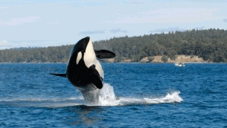 Granny, The World's Oldest Orca, Is Now Presumed Dead At 105