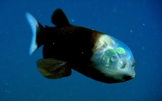 You Can Literally See Through the Head of This Fascinating Fish