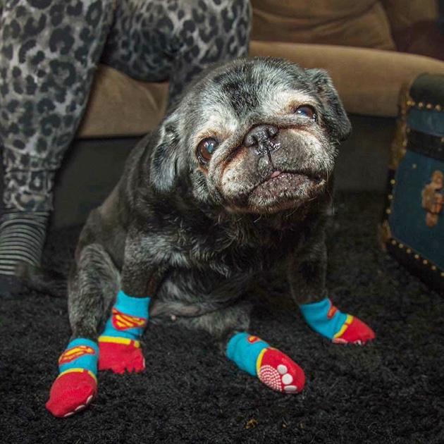 pug loves socks leia