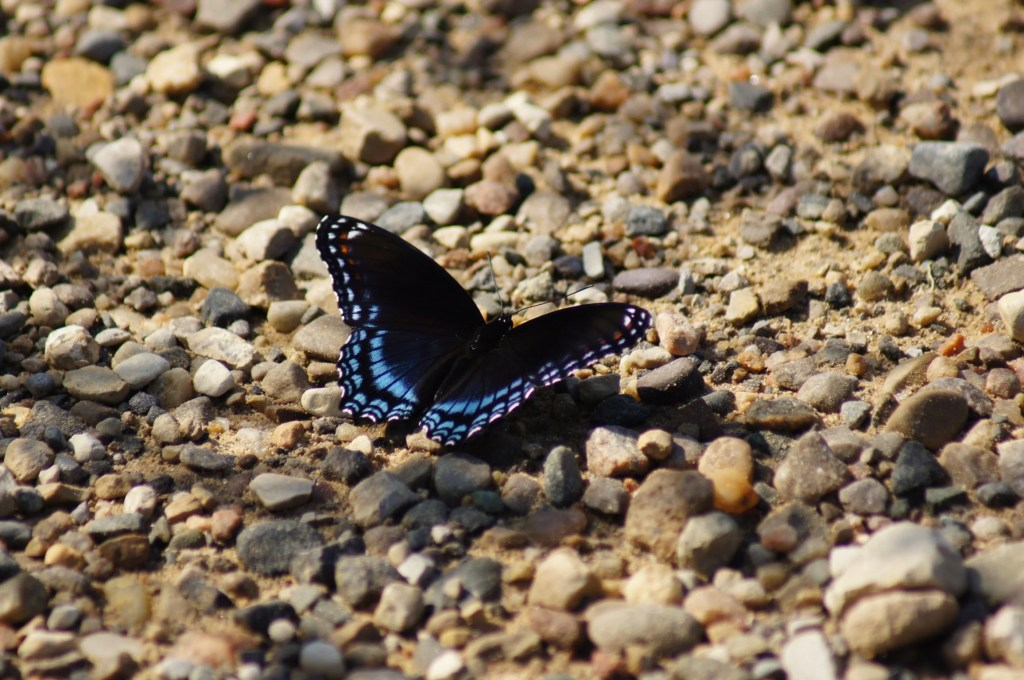 black butterfly meaning i.e. what does a black butterfly mean