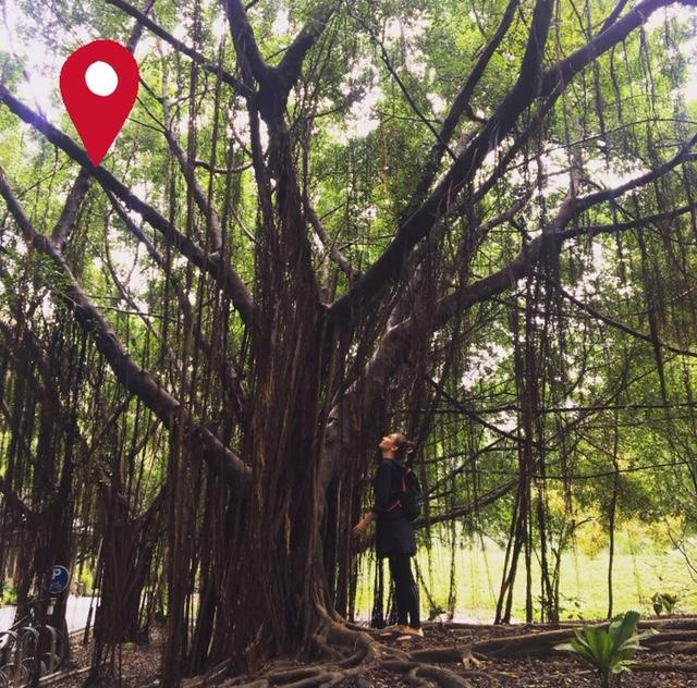 Forest Bathing trips in Bangkok with a woman looking up to a big tree