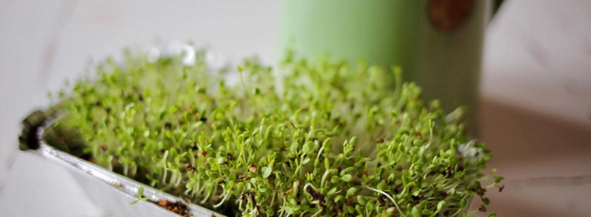 starting microgreens