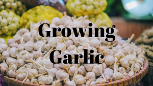 planting garlic in October