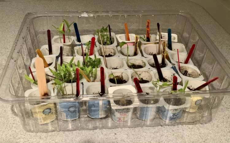 Start A Free Garden From Seeds! many seedlings each in recycled yogurt cups in a big plastic big (the cover of a Costco cake) all with labeled wooden stick markers