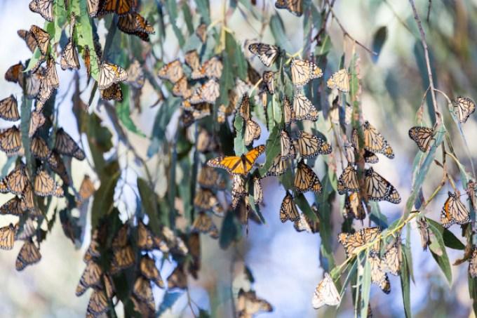 Pismo Beach Monarch Butterflies Grove