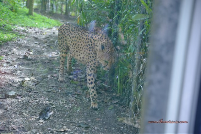 Cebu Safari and Adventure Park - Cheetah