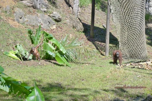 Cebu Safari and Adventure Park - Mommy and Baby Urangutan