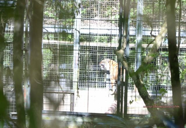 Cebu Safari and Adventure Park - Orange Tiger