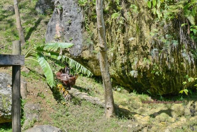 Cebu Safari and Adventure Park - Orangutans in the Shade
