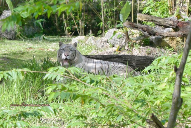 White Bengal Tiger - Cebu Safari and Adventure Park
