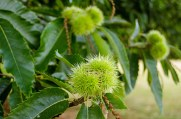Close up view of the spikey seed pods of a Sweet Chestnut tree, latin name Castanea sativa in the early autumn in England.