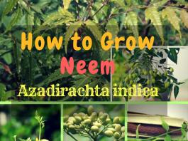grow neem