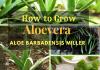 How to Grow Aloe Vera ? ( Aloe Barbadensis Miller )
