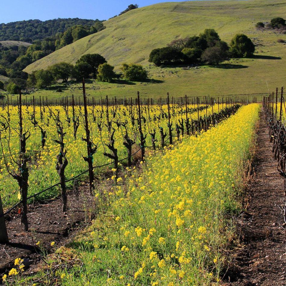 Mustard-Growing-Gloria-Ferrer
